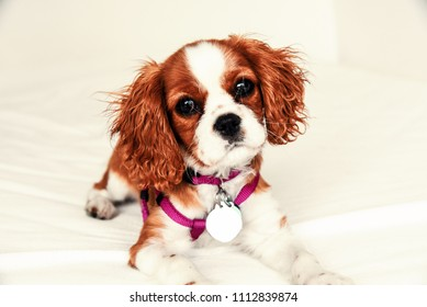 Cavalier King Charles copper colored puppy with harness and dog tags