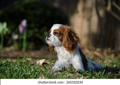 Cavalier King Charles looking into the distance