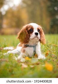 Cavalier king charles puppy in autumn park