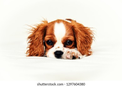 A Cavalier King Charles Puppy laying down with one paw out looking sweet.