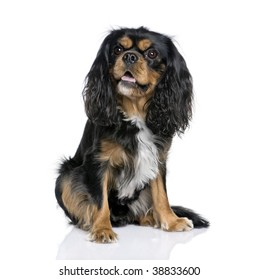 Cavalier King Charles Spaniel, 2 years old, sitting in front of white background