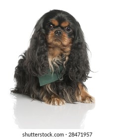Cavalier King Charles Spaniel (3 years old) in front of a white background