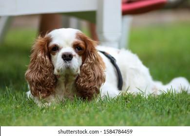 cavalier king charles spaniel, breed dog.