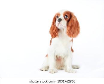 Cavalier King Charles Spaniel dog against a white backdrop. Blenheim color.