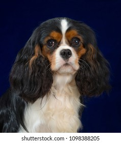 Cavalier King Charles Spaniel dog portrait isolated on blue background
