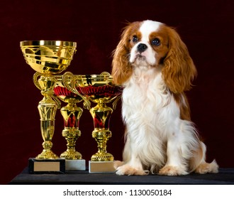Cavalier King Charles Spaniel dog sits beside a best of breed and best in show winning trophies, Isolated on dark red background