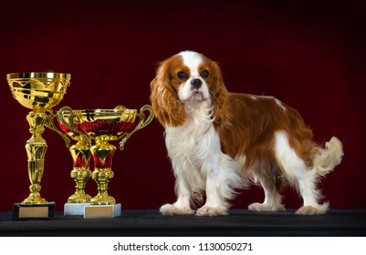 Cavalier King Charles Spaniel dog stands beside a best of breed and best in show winning trophies, Isolated on dark red background