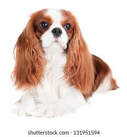 cavalier king charles spaniel dog portrait