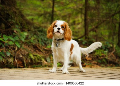 Cavalier King Charles Spaniel dog standing on forest path