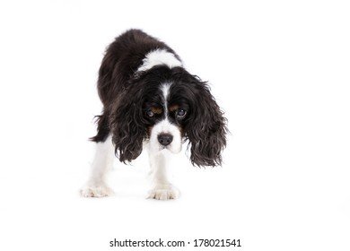 Cavalier King Charles Spaniel dog on a white background