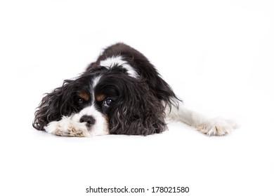 Cavalier King Charles Spaniel dog on a white background