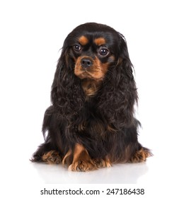 cavalier king charles spaniel dog sitting