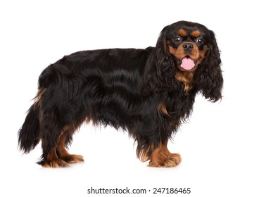 cavalier king charles spaniel dog standing on white