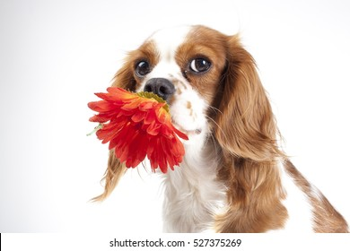 Cavalier king charles spaniel dog hold spring daisy flower. Dog with red flower illustrate spring. Dog carry margareta