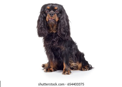 Cavalier King Charles Spaniel dog breed dog sits and looks attentively frontal