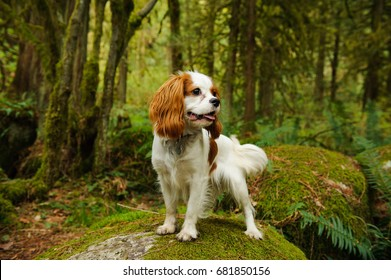 Cavalier King Charles Spaniel dog standing in forest