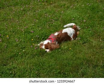 Cavalier King Charles spaniel enjoying a romp in the grass