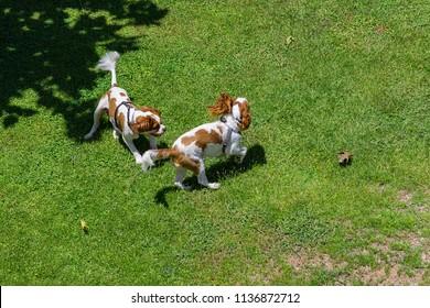 Cavalier King Charles Spaniel friends playing Hi resolution all 300dpi
