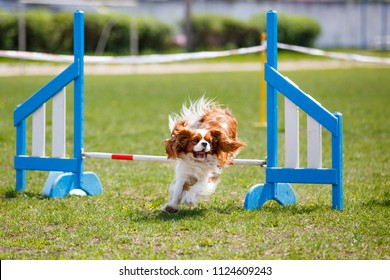 Cavalier king charles spaniel jumping over hurdle in agility competition