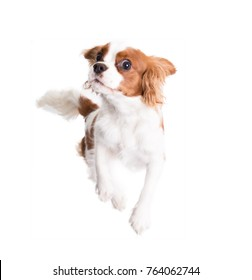 Cavalier King Charles Spaniel jumps in studio on white background - isolate with shadow.