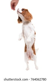Cavalier King Charles Spaniel jumps, trying to catch food  in studio on white background - isolate with shadow.