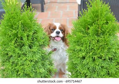 Cavalier King Charles Spaniel, lovely dog, hiding between two thuja trees