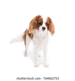 Cavalier King Charles Spaniel posing in front of camera in studio on white background - isolate with shadow.