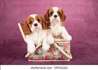 Cavalier king Charles spaniel puppies sitting inside basket on light grape background