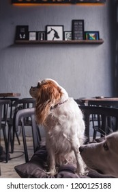 Cavalier King Charles Spaniel Puppy in a Coffeee House