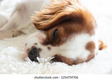 Cavalier King Charles Spaniel puppy sleeping on a white fluffy rug