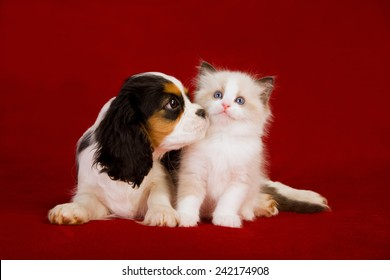 Cavalier King Charles Spaniel puppy and Ragdoll kitten sitting on deep red burgundy background