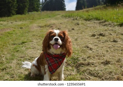 Cavalier King Charles spaniel with a red tartan scarf sitting on a green meadow