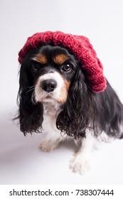 Cavalier King Charles Spaniel in Red Bobble Hat In Studio