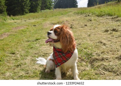 Cavalier King Charles spaniel sitting on a green meadow