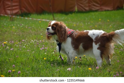 Cavalier King Charles spaniel standing on a green meadow