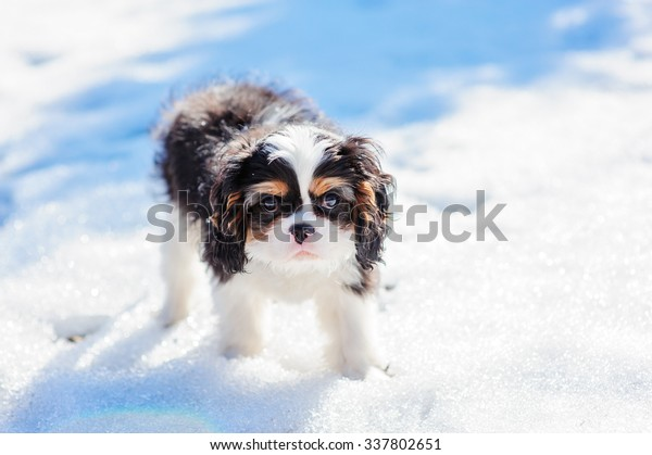 cavalier king charles spaniel tricolor funny puppy on first winter walk in snowy day