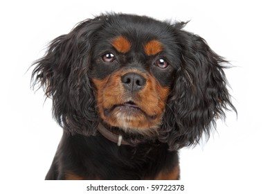 Cavalier King Charles Spaniel(Cav, Cavalier, Cavie) isolated on white