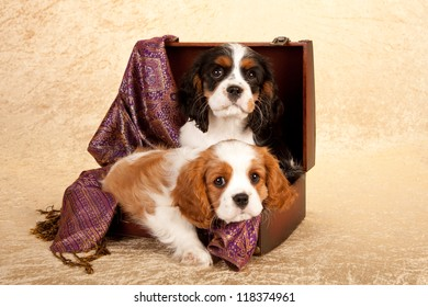Cavalier puppies lying in suitcase luggage on beige background