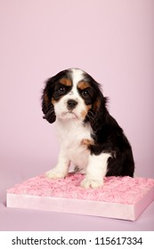 Cavalier puppy on satin rose covered pink gift box pink lilac background
