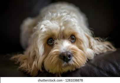Cavapoo curly dog