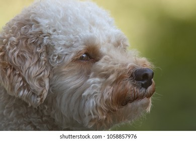 Cavapoo dog face