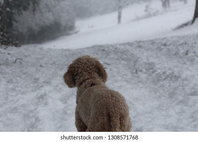 Cavapoo dog looking at snowy landscape