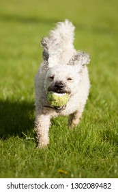 Cavapoo dog returning ball while playing in grass park.