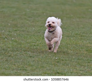 Cavapoo dog running