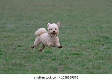 Cavapoo dog running in a muddy field