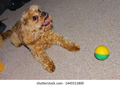 A Cavapoo dog sits on the carpet with a ball