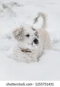 Cavapoo dog in the snow