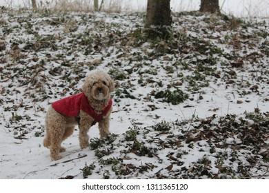 Cavapoo dog in a snowy forest