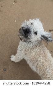 Cavapoo dog windswept on beach