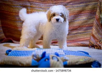 Cavapoo Mixed Breed Cutest Puppy